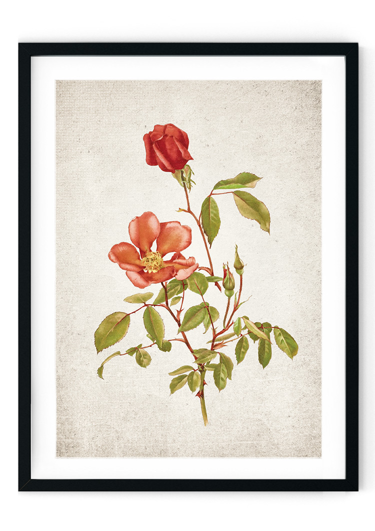 Red Rose Giclee Print