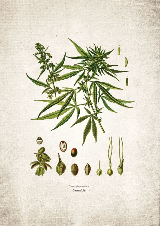 Herbal Plant Giclee Print