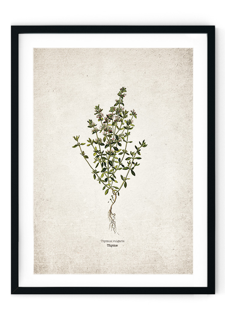 Thyme Kitchen Herb Giclee Print