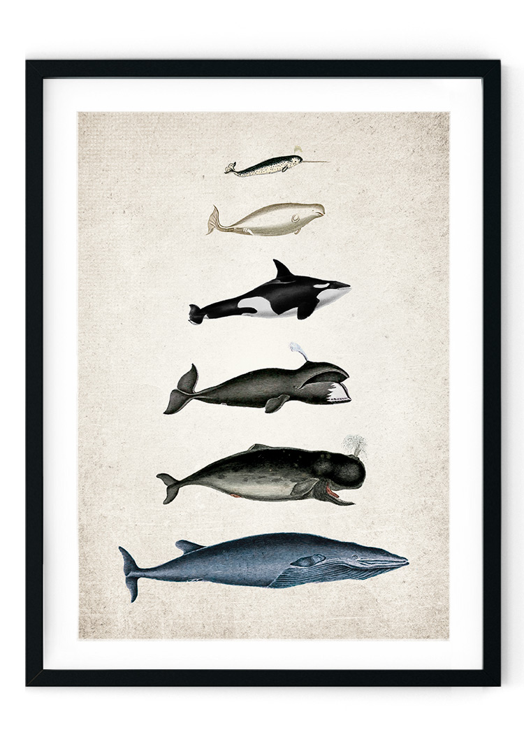 Whale Size Chart Giclee Print