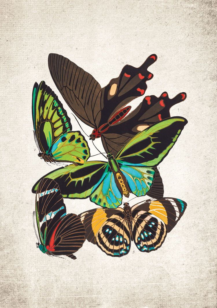 Cape York Birdwing Butterfly Giclee Print